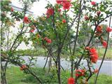 教室前的石榴树开花了