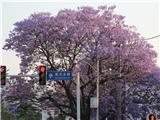 蓝花楹 (2)