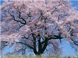 flower_japanese_sakura_cherry_blossom_47881_8