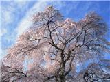 flower_japanese_sakura_cherry_blossom_47936_m