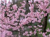flower_japanese_sakura_cherry_blossom_47970_10