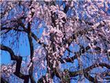 flower_japanese_sakura_cherry_blossom_47977_m